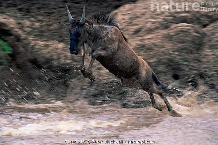 Wildebeest {Connochaetes taurinus} jumping into river, Masai Mara GR, Kenya  ,  ACTION,ARTIODACTYLA,BOVIDS,East Africa,LEAPING,MAMMALS,Migration,RIVERS,VERTEBRATES,WATER,WILDEBEESTS,Africa,Antelopes  ,  Peter Blackwell