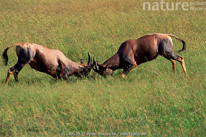 Topi sparring {Damiliscus lunatus} Masai Mara GR, Kenya  ,  AGGRESSION,ARTIODACTYLA,BEHAVIOUR,BOVIDS,DOMINANCE,East Africa,FIGHTING,MALES,MAMMALS,RESERVE,TOPIS,two,VERTEBRATES,Africa,Concepts  ,  Peter Blackwell