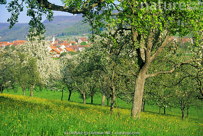 Meadow landscape with orchard trees in flower, Germany  ,  AGRICULTURE,blossom,COUNTRYSIDE,EUROPE,flowering,LANDSCAPES,orchards,rural,SPRING  ,  Dietmar Nill