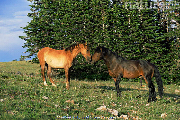 Mustang / Wild horse stallion approaching mare {Equus caballus} Pryor Mountains, Montana, USA  ,  greeting,HORSES,male female pair,MALES,MAMMALS,mating behaviour,north america,penis,PERISSODACTYLA,sex organs,sniffing,USA,VERTEBRATES,Reproduction,Equines  ,  Lynn M Stone