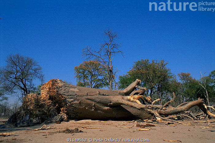 Baobab tree {Adsonia digitata} felled and damaged by African elephants {Loxodonta africana} Okavango Delta, Botswana  ,  damage,DESTRUCTION,DICOTYLEDONS,ELEPHANTS,HABITAT,MALVACEAE,MAMMALS,PLANTS,southern africa,TREES  ,  Pete Oxford