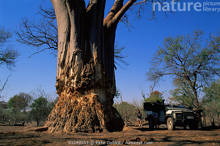 Baobab tree {Adsonia digitata} damaged by Elephants, Okavango Delta, Botswana  ,  damage,DICOTYLEDONS,MALVACEAE,MAMMALS,PLANTS,SIZE,southern africa,TREES,TRUNKS  ,  Pete Oxford