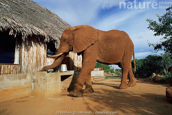 Orphan African elephant {Loxodonta africana} drinking from sink outside a village house, Tsavo East NP, Kenya  ,  BEHAVIOUR,BUILDINGS,East Africa,ELEPHANTS,ENDANGERED,MAMMALS,orphaned,PROBOSCIDS,REHABILITATION,rescued,URBAN,VERTEBRATES,villages,Africa , Bruce Davidson  ,  Jabruson