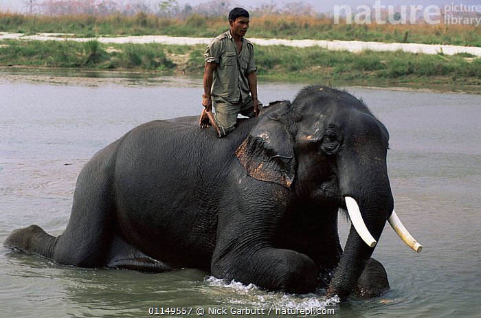 Panhat washing his Indian elephant {Elephas maximus} in Narayani river, Royal Chitwan NP, Nepal  ,  ASIA,BATHING,domesticated,ELEPHANTS,ENDANGERED,indian subcontinent,mahout,MAMMALS,PEOPLE,PROBOSCIDS,RESERVE,RIVERS,VERTEBRATES  ,  Nick Garbutt