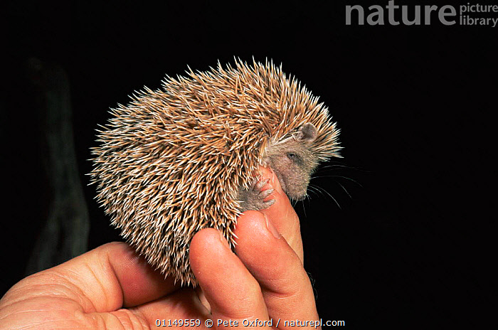 Small madagascar hedgehog {Echinops telfairi} held in hand to show size, Kirindy Forest, W Madagascar  ,  captive,HANDS,INSECTIVORES,MAMMALS,PEOPLE,SMALL,TENRECS,VERTEBRATES,MADAGASCAR  ,  Pete Oxford