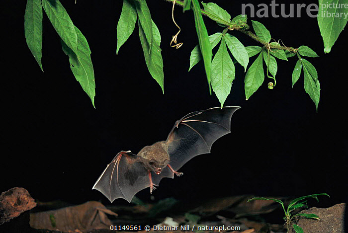 Fringe lipped bat {Trachops cirrhosus} flying / landing, Panama, captive  ,  ACTION,BATS,BEHAVIOUR,central america,CHIROPTERA,flight,MAMMALS,NIGHT,VERTEBRATES  ,  Dietmar Nill