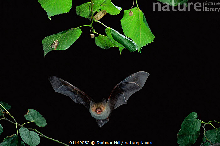 Bechstein's bat hunting insects at night {Myotis bechsteinii} Gabon  ,  ACTION,BATS,CHIROPTERA,flight,FLYING,HUNTING,INSECTS,MAMMALS,NIGHT,VERTEBRATES,CENTRAL Africa,Africa,Invertebrates  ,  Dietmar Nill