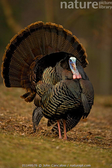 Wild Turkey {Meleagris gallopavo} male displaying, New York, USA.  ,  BEHAVIOUR,BIRDS,COURTSHIP,DISPLAY,DISPLAYING,FEATHERS,MATING BEHAVIOUR,TURKEYS,USA,VERTEBRATES,VERTICAL,North America,Reproduction,Communication,MIDDLE-EAST  ,  John Cancalosi