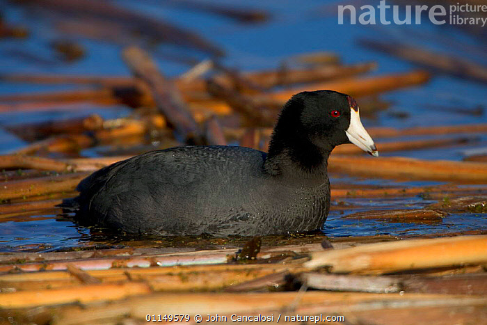 American Coot {Fulica americana} NY, USA.  ,  BEHAVIOUR,BIRDS,COOTS,PROFILE,USA,VERTEBRATES,WATERFOWL,North America  ,  John Cancalosi