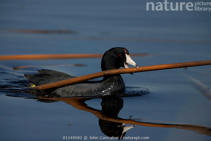American Coot {Fulica americana} swimming and carrying material to construct nest, NY, USA.  ,  BEAKS,BEHAVIOUR,BIRDS,COOTS,USA,VERTEBRATES,WATERFOWL,North America  ,  John Cancalosi