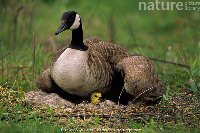 Canada Goose {Branta canadensis} on nest with chick, NY, USA  ,  BABIES,BIRDS,FAMILIES,GEESE,NESTS,USA,VERTEBRATES,WATERFOWL,North America,Wildfowl, waterfowl  ,  John Cancalosi