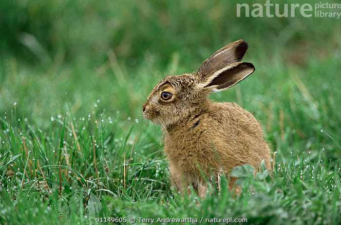 Young leveret hare (Lepus europaeus) in grass, Norfolk, UK.  ,  BRITAIN,BRITISH,BROWN HARE,ENGLAND,ENGLISH,EUROPE,EUROPEAN,HARES,LAGOMORPHS,MAMMALS,PROFILE,RODENT,RODENTS,UNITED KINGDOM,VERTEBRATES  ,  Terry Andrewartha