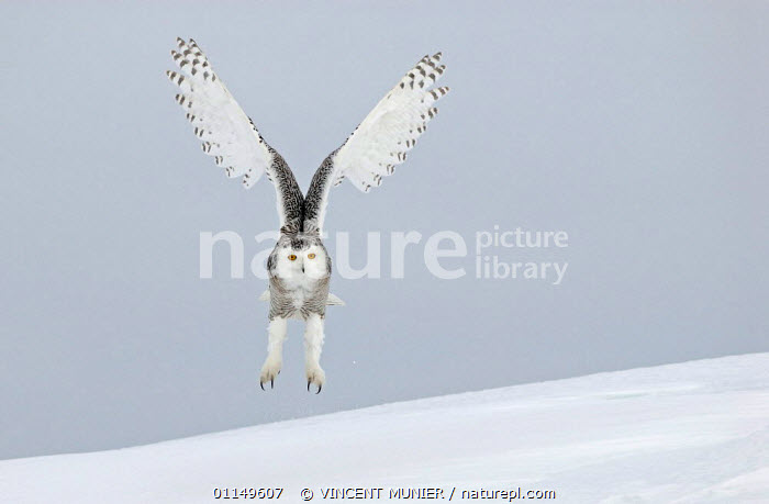 Snowy owl (Nyctea scndiaca) landing in snow. Canada. Winning picture in Shell Wildlife Photographer of the Year competition, 2006.  ,  BIRDS,BIRDS OF PREY,CANADA,FLYING,OWLS,PHOTOGRAPHER,VERTEBRATES,WILDLIFE,North America,Raptor,Catalogue1  ,  VINCENT MUNIER