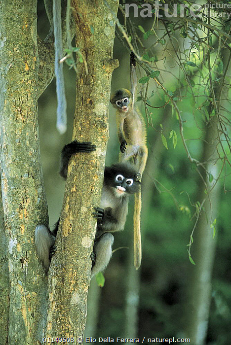 Dusky leaf monkeys (Trachypithecus obscurus),