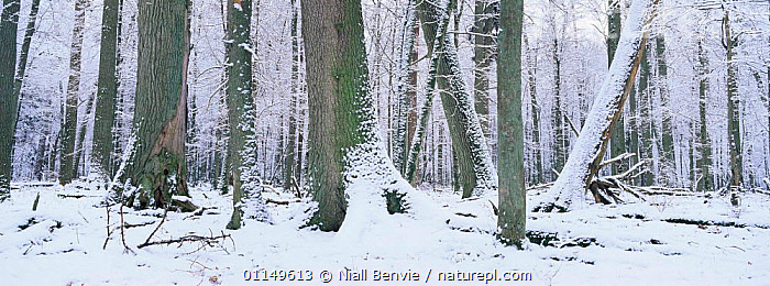 Bialowieza NP in snow, Poland  ,  BROADLEAF,EASTERN EUROPE,EUROPE,LANDSCAPES,PANORAMIC,SNOW,TREES,TRUNKS,WINTER,WOODLANDS,Plants  ,  Niall Benvie