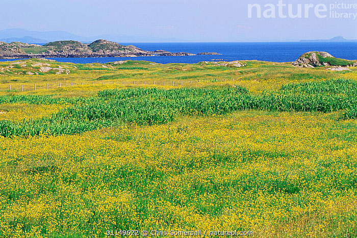 Coastal landscape with summer flowers, Breachacha, Isle of Coll, Inner Hebrides, Scotland, UK  ,  BUTTERCUPS,COASTAL WATERS,COASTS,EUROPE,FLOWERING,FLOWERS,GRASSLAND,LANDSCAPES,SEA,SUMMER,UK,WILDFLOWERS,YELLOW,United Kingdom,British  ,  Chris Gomersall