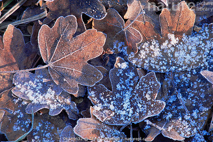 Frosted Field maple tree leaves in leaf litter {Acer campestris} UK  ,  ACERACEAE,ARTY,AUTUMN,DICOTYLEDONS,EUROPE,FROST,LEAVES,PLANTS,UK,WINTER,United Kingdom,Weather,British  ,  Chris Gomersall