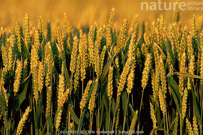 Ripening Wheat seed heads {Triticum aestivum} UK  ,  CROPS,EUROPE,FARMLAND,GRAMINEAE,GRASS,GRASSES,HARVEST,MONOCOTYLEDONS,PLANTS,POACEAE,SEEDS,UK,United Kingdom,British  ,  Chris Gomersall