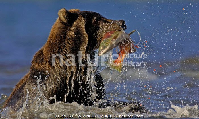 Kamchatka Brown bear (Ursus arctos beringianus) catching salmon, note eggs of salmon spraying out, Kamchatka, Russia  ,  ACTION,ASIA,BEARS,BROWN BEAR,CARNIVORES,FISH,MAMMALS,PREDATION,RIVERS,VERTEBRATES,Behaviour,Catalogue1  ,  VINCENT MUNIER