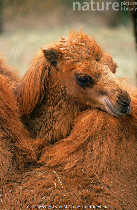Bactrian camel resting head on another's hump {Camelus bactrianus} captive  ,  ARTIODACTYLA,BABIES,CAMELIDS,CAMELS,CUTE,ENDANGERED,FUR,HEADS,IMMATURE,JUVENILE,MAMMALS,RESTING,VERTICAL,YOUNG  ,  Lynn M Stone