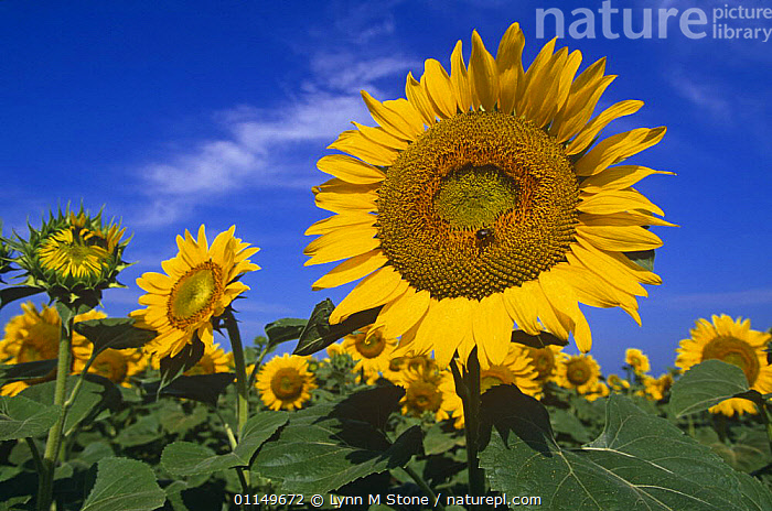 Sunflowers {Helianthus annuus} Illinois, USA  ,  AGRICULTURE,ASTERACEAE,COMPOSITAE,CROPS,DICOTYLEDONS,FLOWERS,MONOCULTURE,NORTH AMERICA,PLANTS,USA,YELLOW  ,  Lynn M Stone