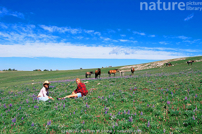 Young women in meadow watching Wild horses / Mustangs {Equus caballus} Pryor Mountains, Montana, USA  ,  GROUPS,HORSE,HORSES,LANDSCAPES,MAMMALS,MUSTANG,NORTH AMERICA,PEOPLE,PERISSODACTYLA,RESEARCH,USA,VERTEBRATES,WILDLIFE WATCHING,Equines  ,  Lynn M Stone