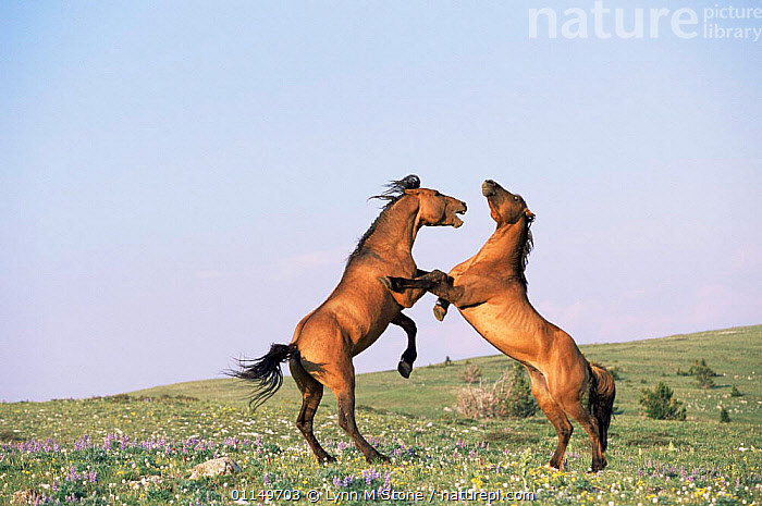 Two Wild horses / Mustangs fighting {Equus caballus} Pryor Mountains, Montana, USA  ,  AGGRESSION,BEHAVIOUR,HORSE,HORSES,MALES,MAMMALS,MUSTANG,NORTH AMERICA,PERISSODACTYLA,USA,VERTEBRATES,VERTICAL,Concepts,Equines  ,  Lynn M Stone