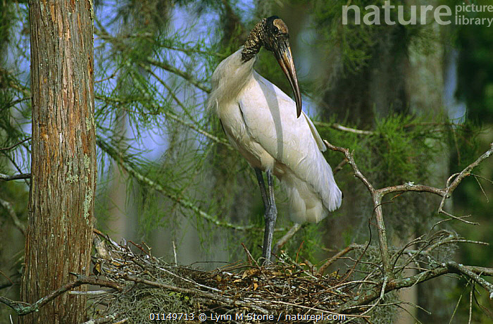 American wood ibis / stork at nest {Mycteria americana} Florida, USA,  ,  BIRDS,NESTING BEHAVIOUR,NESTS,NORTH AMERICA,STORKS,USA,VERTEBRATES,WADING BIRDS,Reproduction  ,  Lynn M Stone
