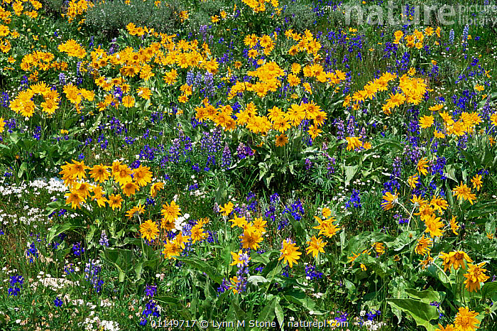 Wildflower meadow with Mules-ears {Wyethia amplexicaulis} and Lupins {Lupinus sp} Montana, USA  ,  FLOWERS,MIXED SPECIES,NORTH AMERICA,NORTH AMERICA,PRAIRIES,USA,WILDFLOWERS  ,  Lynn M Stone
