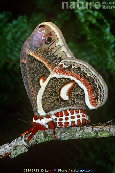 Cecropia moth {Hyalophora cecropia} captive  ,  LEPIDOPTERA, MOTHS, PATTERNS, SIZE, COLOURFUL, EMPEROR-MOTHS, INSECTS, INVERTEBRATES, LARGE  ,  Lynn M Stone