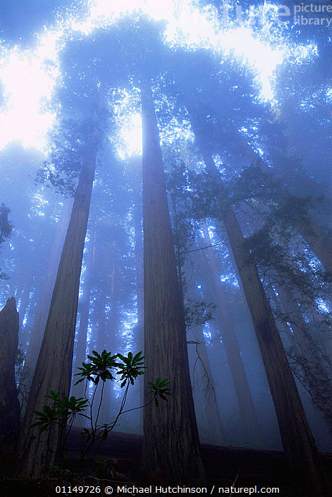 Coast Giant redwood trees {Sequoia sempervirens} in the fog, Del Norte State Park, California, USA. Tallest trees in the world.  ,  ATMOSPHERIC,CANOPY,CONIFERS,GYMNOSPERMS,HEIGHT,MIST,NORTH AMERICA,PLANTS,RESERVE,TALL,TAXODIACEAE,TRUNKS,USA,VERTICAL,Catalogue1  ,  Michael Hutchinson