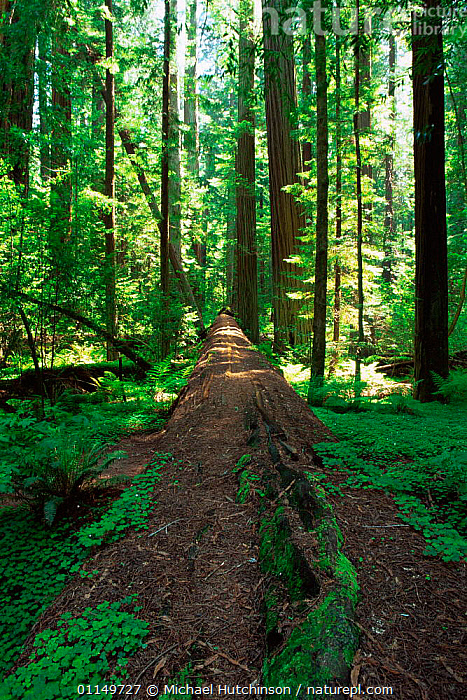 View along the fallen log of a Coast Giant redwood trees {Sequoia sempervirens}  Redwood NP, California, USA. Tallest trees in the world.  ,  CONIFERS,DECOMPOSITION,GYMNOSPERMS,NORTH AMERICA,PLANTS,RESERVE,SIZE,TALL,TAXODIACEAE,TEMPERATE RAINFOREST,TRUNKS,UNDERSTOREY,USA,VERTICAL , understory  ,  Michael Hutchinson