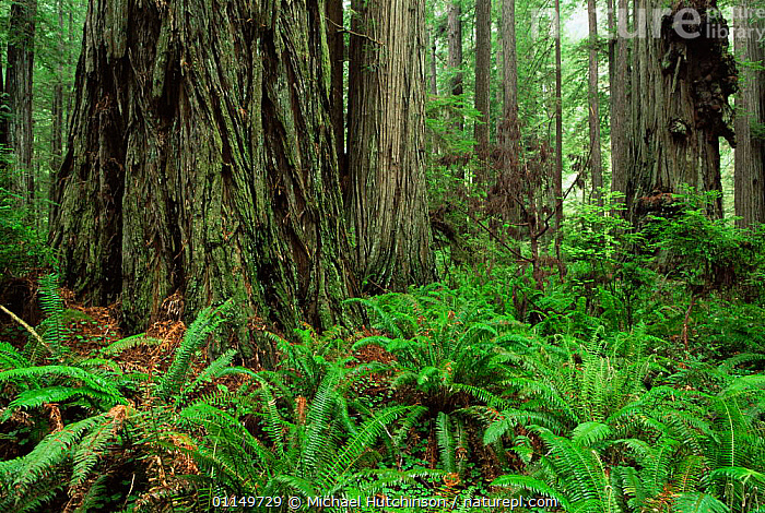 Coast Giant redwood trees {Sequoia sempervirens} and ferns in Redwood NP, California, USA.  ,  CONIFERS,FERNS,FRONDS,GYMNOSPERMS,NORTH AMERICA,PLANTS,RESERVE,TAXODIACEAE,TEMPERATE,TEMPERATE RAINFOREST,TRUNKS,UNDERSTOREY,USA , understory  ,  Michael Hutchinson