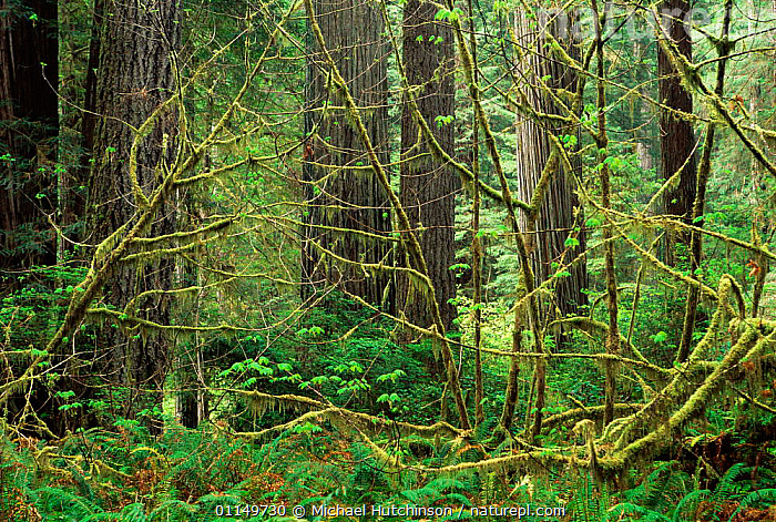 Old growth forest with Coast Giant redwood trees {Sequoia sempervirens}, lichen, moss and ferns, Redwood NP, California, USA.  ,  CONIFERS,GYMNOSPERMS,HABITAT,NORTH AMERICA,PLANTS,RESERVE,TAXODIACEAE,TEMPERATE,TEMPERATE RAINFOREST,TRUNKS,UNDERSTOREY,USA , understory  ,  Michael Hutchinson