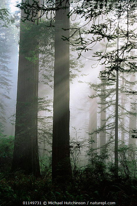 Coast Giant redwood trees {Sequoia sempervirens} in the fog, Del Norte State Park, California, USA. Tallest trees in the world.  ,  ATMOSPHERIC,CONIFERS,GYMNOSPERMS,MIST,NORTH AMERICA,PLANTS,RAYS,RESERVE,SUNLIGHT,TALL,TAXODIACEAE,TEMPERATE,TEMPERATE RAINFOREST,TRUNKS,USA,VERTICAL  ,  Michael Hutchinson