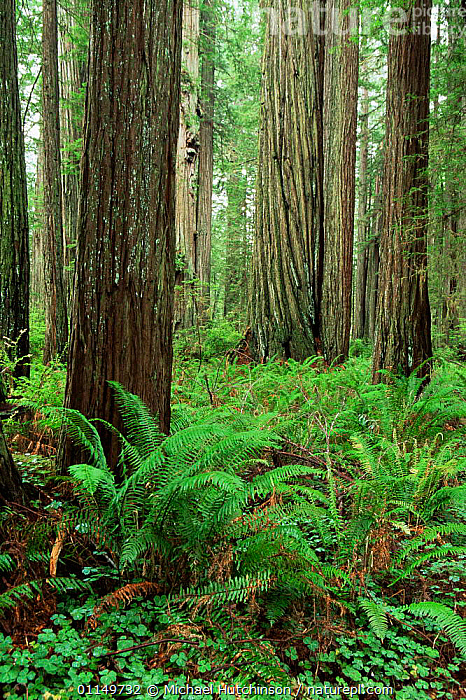 Coast Giant redwood trees {Sequoia sempervirens} Sorrel and ferns, Humboldt State Park, California, USA  ,  CONIFERS,GYMNOSPERMS,NORTH AMERICA,PLANTS,RESERVE,TAXODIACEAE,TEMPERATE,TEMPERATE RAINFOREST,TRUNKS,UNDERSTOREY,USA,VERTICAL , understory  ,  Michael Hutchinson