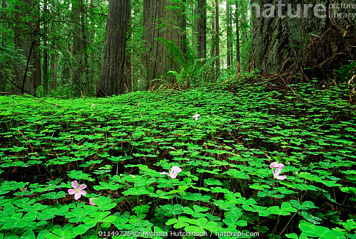 Redwood sorrel {Oxalis oregana} flowering on forest floor beneath Coast Giant redwood trees {Sequoia sempervirens} Humboldt State Park, California, USA  ,  CONIFERS,FLOWERS,GYMNOSPERMS,LEAVES,NORTH AMERICA,PLANTS,RESERVE,TAXODIACEAE,TEMPERATE,TEMPERATE RAINFOREST,TRUNKS,UNDERSTOREY,USA,WOODLANDS , understory  ,  Michael Hutchinson