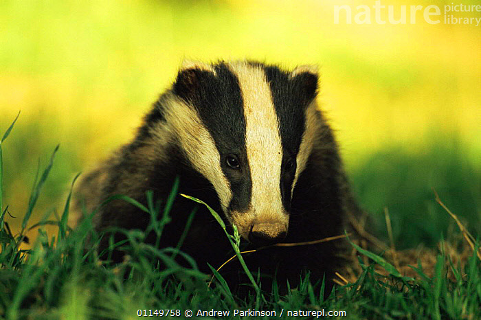 Badger cub {Meles meles} Derbyshire, UK  ,  BABIES,BADGERS,CARNIVORES,CUBS,IMMATURE,JUVENILE,MAMMALS,MUSTELIDS,PORTRAITS,UK,VERTEBRATES,YOUNG,Europe,United Kingdom,British  ,  Andrew Parkinson