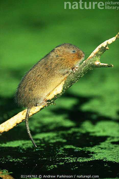 Water vole {Arvicola terrestris} stripping bark from fallen sycamore branch, Cromford Canal, Derbyshire, UK  ,  BEHAVIOUR,CANALS,FEEDING,MAMMALS,RIVERS,RODENTS,UK,VERTEBRATES,VERTICAL,VOLES,WATER,WATERWAYS,Europe,United Kingdom,British,Muridae  ,  Andrew Parkinson