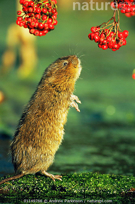 Water vole {Arvicola terrestris} standing up to reach overhanging berries, Cromford Canal, Derbyshire, UK sequence 1/4  ,  BEHAVIOUR,CANALS,FEEDING,HUMOROUS,MAMMALS,RIVERS,RODENTS,UK,VERTEBRATES,VERTICAL,VOLES,WATER,WATERWAYS,Europe,United Kingdom,Concepts,British,Muridae, United Kingdom, United Kingdom, United Kingdom,Catalogue1  ,  Andrew Parkinson