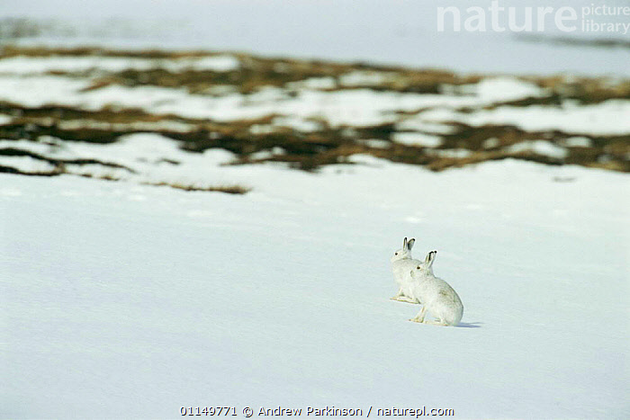 Two Mountain hares {Lepus timidus} camouflaged on snow in winter coat, Monadhliath Mountains, Scotland, UK  ,  CAMOUFLAGE,EUROPE,HARES,LAGOMORPHS,MAMMALS,UK,VERTEBRATES,WINTER,United Kingdom,British  ,  Andrew Parkinson