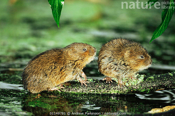 Water vole {Arvicola terrestris} two adults, probably related females, Cromford Canal, Derbyshire, UK  ,  CANALS,EUROPE,FEMALES,MAMMALS,RIVERS,RODENTS,UK,VERTEBRATES,VOLES,WATER,WATERWAYS,United Kingdom,British,Muridae  ,  Andrew Parkinson
