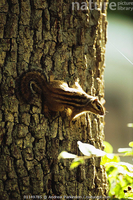 Siberian chipmunk {Eutamias sibiricus} on trunk of oak tree, living wild in Hampshire, UK  ,  BARK,CHIPMUNKS,INTRODUCED,INVASIVE,MAMMALS,RODENTS,TRUNKS,UK,VERTEBRATES,VERTICAL,WOODLANDS,Europe,United Kingdom,Plants,British  ,  Andrew Parkinson