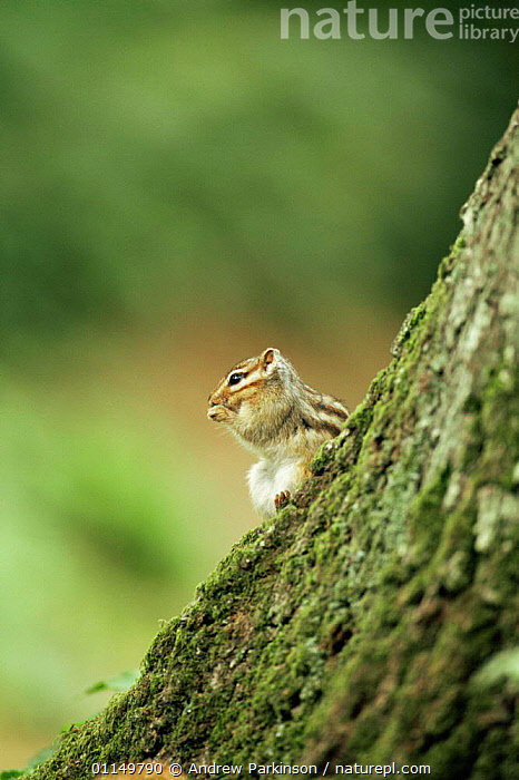 Siberian chipmunk {Eutamias sibiricus} on bark of oak tree, living wild in Hampshire, UK  ,  CHIPMUNKS,EUROPE,INTRODUCED,INVASIVE,MAMMALS,RODENTS,SPECIES,UK,VERTEBRATES,VERTICAL,WOODLANDS,United Kingdom,British  ,  Andrew Parkinson