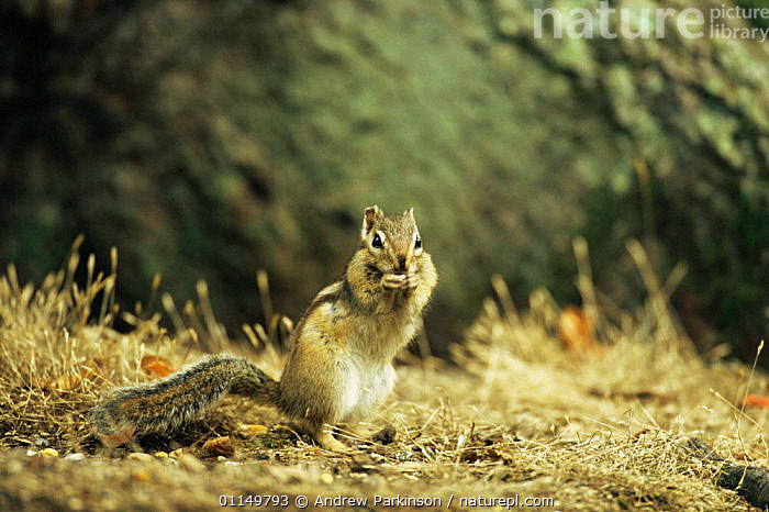 Siberian chipmunk {Eutamias sibiricus} foraging, living wild in Hampshire, UK  ,  CHIPMUNKS,FEEDING,INTRODUCED,INVASIVE,MAMMALS,RODENTS,UK,VERTEBRATES,WOODLANDS,Europe,United Kingdom,British  ,  Andrew Parkinson