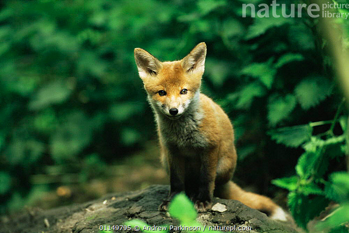 Red fox cub {Vulpes vulpes} Derbyshire, UK  ,  BABIES,CANIDS,CARNIVORES,CUBS,CUTE,EUROPE,FOXES,MAMMALS,UK,VERTEBRATES,WOODLANDS,YOUNG,United Kingdom,British,Dogs  ,  Andrew Parkinson