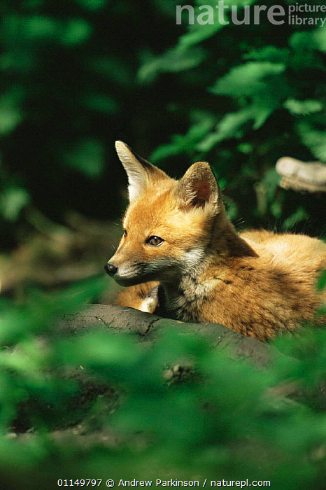 Red fox cub {Vulpes vulpes} Derbyshire, UK  ,  BABIES,CANIDS,CARNIVORES,CUBS,CUTE,EUROPE,FOXES,MAMMALS,UK,VERTEBRATES,VERTICAL,WOODLANDS,YOUNG,United Kingdom,British,Dogs  ,  Andrew Parkinson