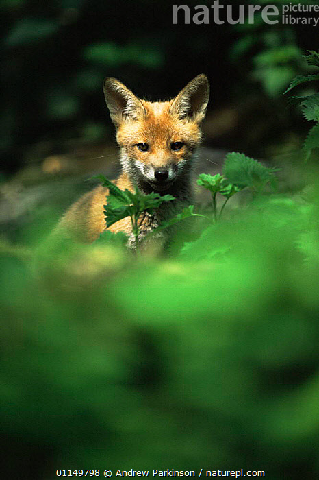 Red fox cub {Vulpes vulpes} in undergrowth, Derbyshire, UK  ,  BABIES,CANIDS,CARNIVORES,CUBS,CUTE,EUROPE,FOXES,MAMMALS,UK,VERTEBRATES,VERTICAL,WOODLANDS,YOUNG,United Kingdom,British,Dogs  ,  Andrew Parkinson