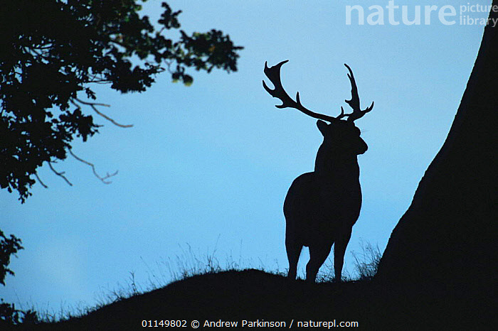 Fallow deer {Dama dama} stag silhouette at dawn, Leicestershire, UK  ,  ANTLERS,ARTIODACTYLA,CERVIDS,DEER,EUROPE,MALES,MAMMALS,SILHOUETTES,STAG,UK,VERTEBRATES,United Kingdom,British  ,  Andrew Parkinson