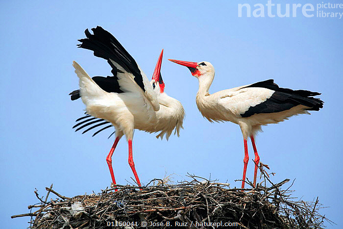 Two White storks {Ciconia ciconia} courtship on nest, The Barruecos, Malpartida de C�ceres, Spain. Sequence 1/3., BEHAVIOUR,BIRDS,COURTSHIP,DISPLAY,EUROPE,INTERACTION,mating behaviour,NESTS,PROFILE,REPRODUCTION,SPAIN,STORKS,two,VERTEBRATES,Communication, Jose B. Ruiz